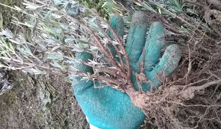 Butasi de lavanda Angustifolia soiul Rapido