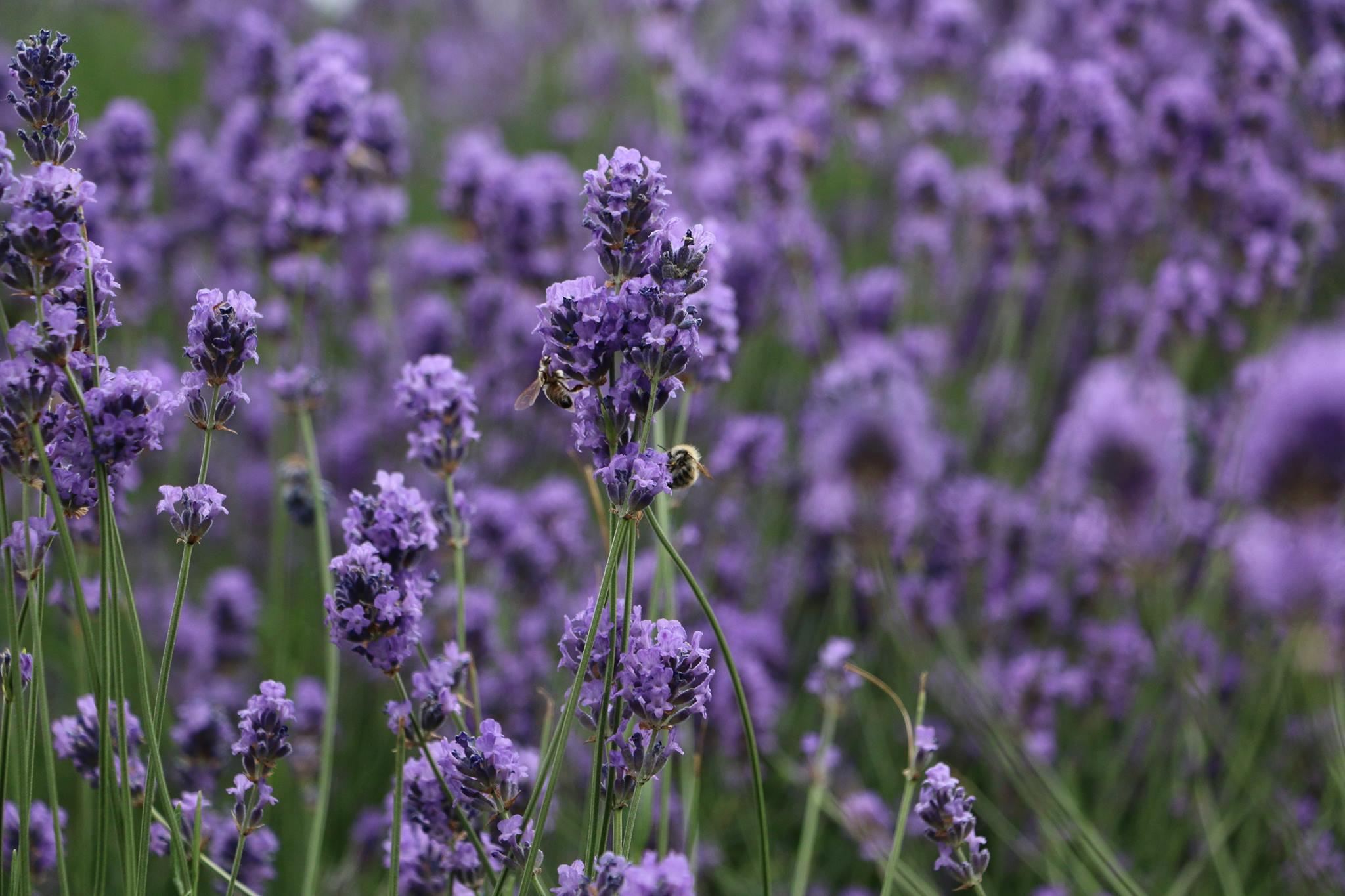 cultura de lavanda bio Angustifolia soi Rapido infiintata cu puieti de la o pepiniera ecologica din Provence