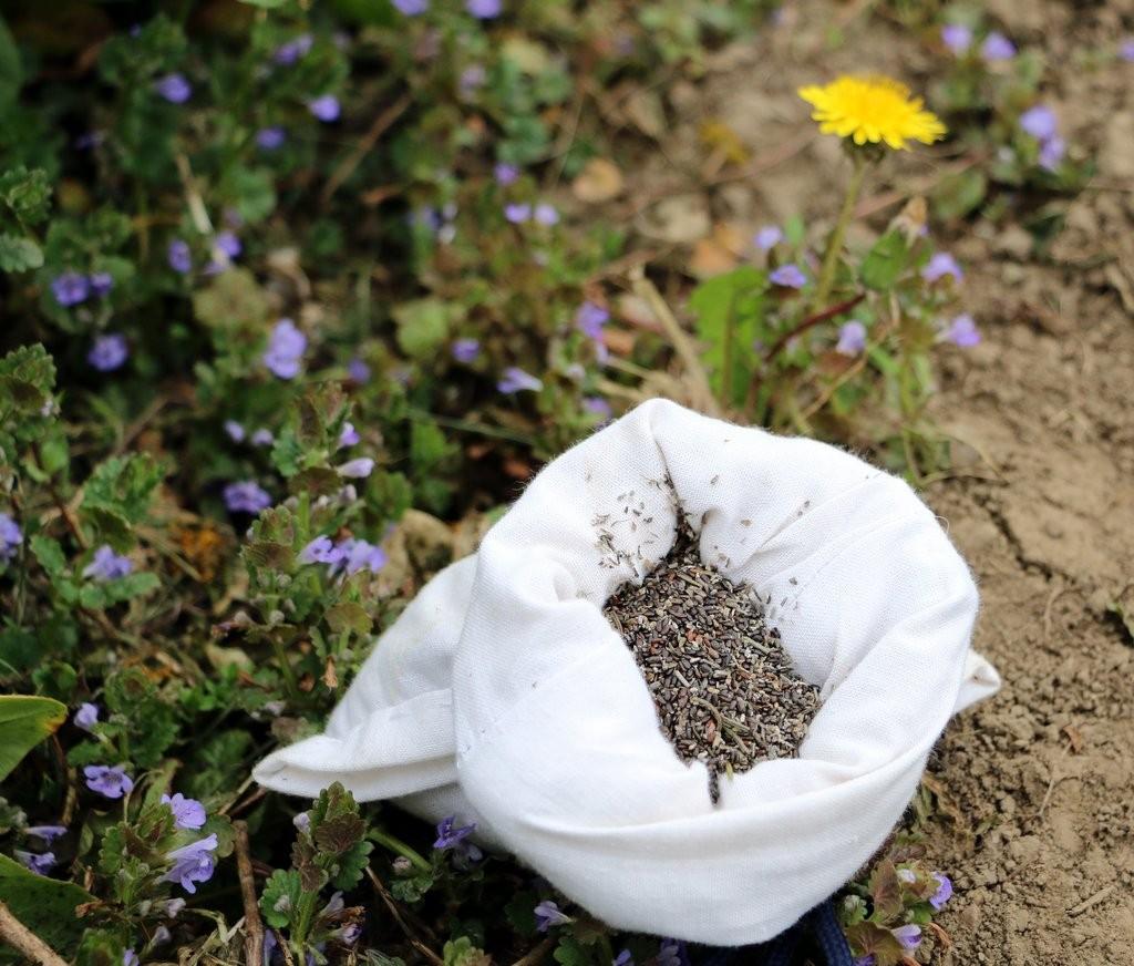 seminte de lavanda Angustifolia soi Rapido