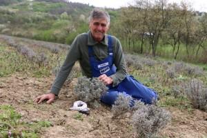 la-cultura-de-lavanda-angustifolia