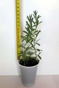 puiet-de-lavanda-angustifolia-ecologica-marime-actuala