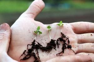 puieti-de-lavanda-angustifolia-ecologica-radacini