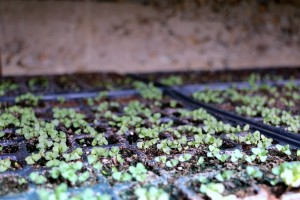 puieti-de-lavanda-angustifolia-rasariti-in-aprilie-2016