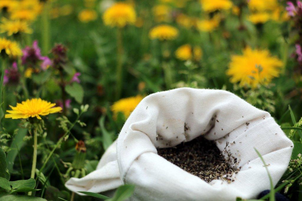 Seminte de lavanda Angustifolia soiul Rapido