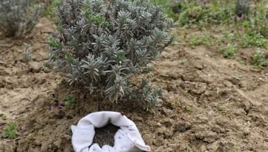 Cultura si seminte de lavanda Angustifolia soiul Rapido