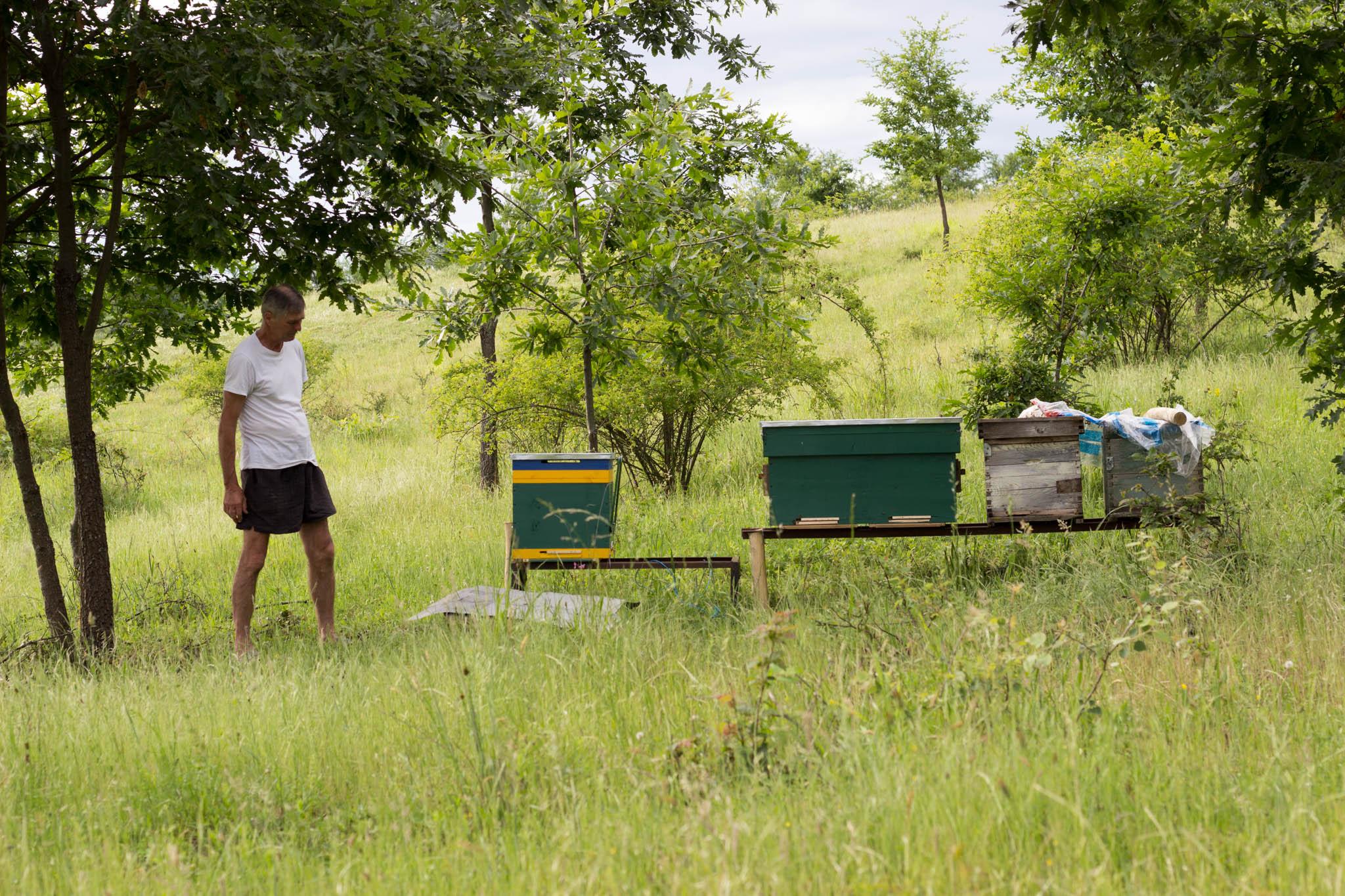 Stupi de albine la cultura de lavanda Angustifolia