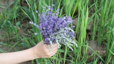 Flori de lavanda Angustifolia soiul Rapido