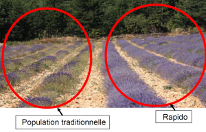 populatie-traditionala-vs-lavanda-angustifolia-rapido