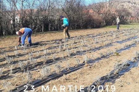 015. Plantarea puietilor de lavanda pe folie