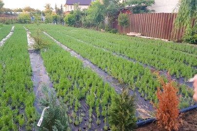 Butasi din seminte de lavanda Angustifolia soiul Rapido