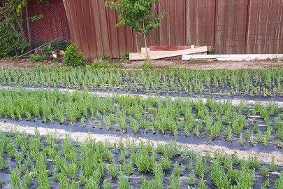 Butasi din seminte de lavanda Angustifolia soiul Rapido pe folie